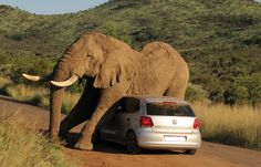 An elephant relieves an itch against a VW Polo car - using the roof & bonnet, but ironically not the trunk. By Armand Grobler / Barcroft Media #Elephant #Funny #FunnyPics #Nature #Cute #Sweet #Adorable #Volkswagen #VW #SouthAfrica #Animals...