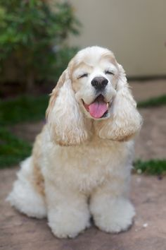 ♤cães - Happy Cocker Spaniel by San Francisco pet photographer Mark Rogers Perro Cocker Spaniel, American Cocker Spaniel, Clumber Spaniel, Cute Puppies, Cute Dogs, Dogs And Puppies, Baby Puppies, Yorkies, Beautiful Dogs