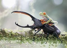 """""""Knight and his steed, a tropical capture in Costa Rica."""" (© Nicolas Reusens)"""