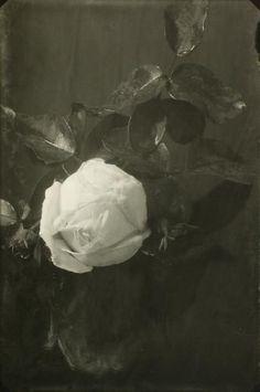 Josef Sudek, White Rose, 1950-54.