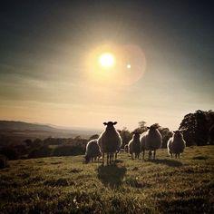 SunnySheepSet #sheep#sun#cotswold #hill#animal#farm#sunset#igerscotswolds | Flickr - Photo Sharing!