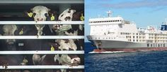 RT>.EMERGENCY< LIVE EXPORTS, 11 DAYS STRANDED AT SEA. NOW DYING! #ANIMALS  3,000 animals are stranded at sea right  https://www.thedodo.com/13000-animals-stranded-at-sea-1544357210.html 13,000 Animals Are Stranded At Sea Right Now And Nobody Is Talking About It
