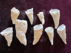 9 Fossil  rugosa Corals  from Tennessee , #WW598 by Collectorman2008 on Etsy