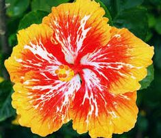 hibiscus - Google Search