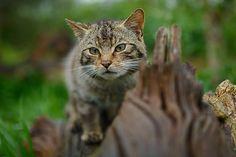 Scottish wildcat british wildlife centre | David Lloyd Wildlife Photography