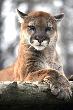 Cougar, Puma, Mountain Lion ~ one of the most beautiful big cats I've ever seen. *Saw one up close & personal at Big Bend, Texas I Love Cats, Cool Cats, Beautiful Cats, Animals Beautiful, Beautiful Creatures, Animals And Pets, Cute Animals, Wild Animals, Baby Animals
