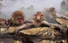baboons baboon bathing sauna hot spring waters