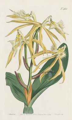 Epidendrum Ciliare. Fringed Epidendrum Orchid. from Curtis prints of tiger lily, orange heliconia, honeysuckle, pomegranate, lilac, tulip tree