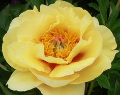 Sonoma Monday Child - Mideseason Itoh Hybrid, semi-double yellow, large butter yellow flowers with slight orange, light fragrance, (Tolemeo, USA). www.peonyshop.com
