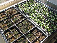 Growing milkweed for monarchs