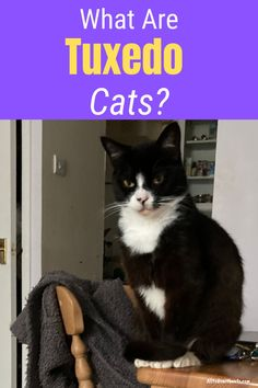 Discover what are Tuxedo cats and what makes them so special. How they get their unique markings, famous tuxedo cats and lots more..#whataretuxedocats #tuxedocatfacts #tuxedocat #blackandwhitecat #catbreeds Black Cat Breeds, Cat Care Tips, Cat Facts, White Cats, Tuxedo Cats, Cats And Kittens, Blog, Humor, Qr Codes