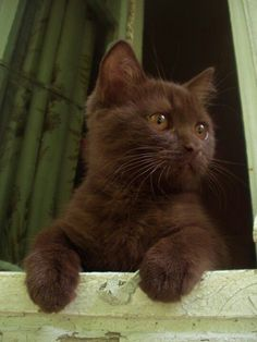 """""""The only thing a cat worries about is what's happening right now."""" ― Lloyd Alexander, Time Cat A chocolate kitty with a chocolate nose, and chocolate eyes, I just wanna nibble his chocolate toes! Really, I wanna nibble him."""