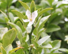 Orange Blossom, would could become neroli, or pettigrain essential oil, depending on how it is distilled, Kew Gardens