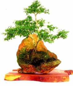 1000 images about bonsai on pinterest bonsai trees for Unusual bonsai creations