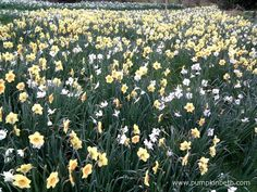 It's wonderful to see a large collection of Daffodils en masse. Orange Flowers, White Flowers, Stuff To Do, Things To Do, Daffodil Flower, It's Wonderful, Beneficial Insects, Colour Combinations, Daffodils