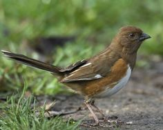 Female Eastern Towhee. We have one of these and the hubs finally figured her out!