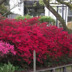 Azalia lepka / Rhododendron KARMINDUFT - Szkółka Roślin Ozdobnych DAMMERA
