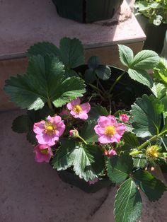Gasana (F1) Strawberry flowers