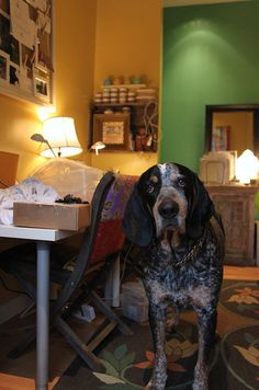 such a cute bluetick coonhound dog.