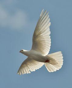 A White Dove ~ In Flight.