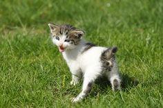 Japanese Bobtail Kitty