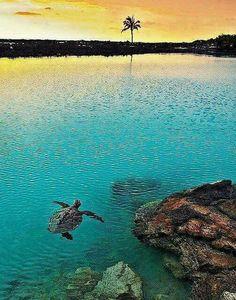 Turtle  Hawaï
