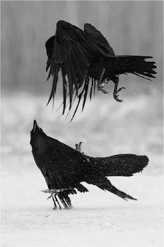 snow winter animals Black and White birds nature fight raven crow angry raven Quoth The Raven, Raven Bird, B&w Tumblr, Hansel Y Gretel, Dark Wings, Jackdaw, Crows Ravens, Kraken, Birds Of Prey