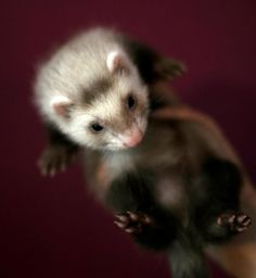Cutest babe I've ever seen! #ferret  45 day old kit!