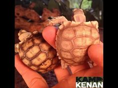 Russian Tortoise Diet Guide / Helpful Tips And Tricks Baby Tortoise, Sulcata Tortoise, Tortoise Care, Giant Tortoise, Russian Tortoise, Young Animal, Hens And Chicks, Proper Diet, Tortoises