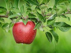 A GYÜMÖLCSÖK KIRÁLYNŐJE: Nem csak finom, hanem egészséges is – az alma jótékony hatásai