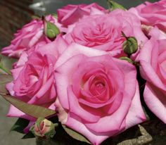 Beverly™ Hybrid Tea rose - beautiful pink blooms and extremely fragrant. Has won awards for being the most fragrant