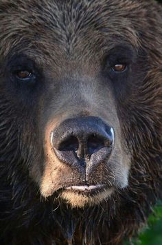 Grizzly Close Up!