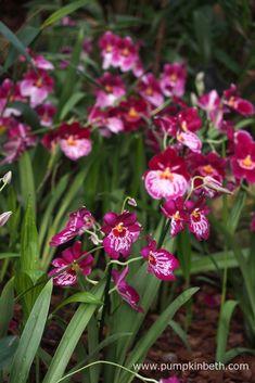 Orchids at Kew Gardens' Orchid Festival 2018 - Pumpkin Beth