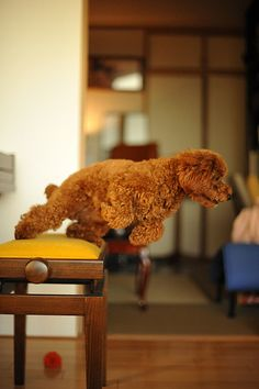 What a great action shot! | Toy Poodle Chocolat by Yasuhiko Ito, via Flickr