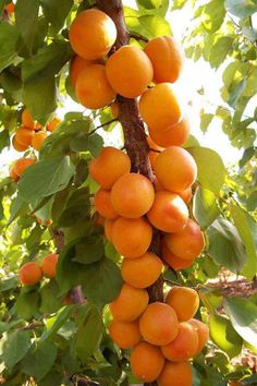 Orangen - Blondorangen  (1-12)