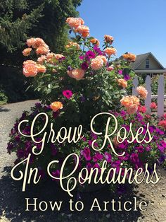 Roses Gardening Roses This article outlines how to grow hassle free roses in containers, so you can take your garden anywhere.Gardening Roses This article outlines how to grow hassle free roses in containers, so you can take your garden anywhere. Container Plants, Container Gardening, Gardening Tips, Flower Gardening, Organic Gardening, Indoor Gardening, Garden Care, Garden Shrubs, Garden Landscaping