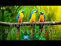 Breathtaking Colorful Birds of the Rainforest - Wildlife Nature Film + Jungle Sounds in UHD Meditation Musik, Relaxation Meditation, Sounds Of Birds, Nature Sounds, Cute Animal Quotes, Cute Animals, Wild Animals, Jungle Sounds, Nature Film
