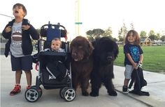 These two huge dogs – the best nanny in the world! | Animals Come