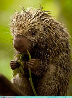 porcupine...puts up a tough exterior but a real softy at heart