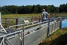 #goatvet likes this article about goat handling & the need to have a good system