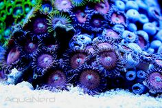 Picture of the Week, Zoanthid Garden. I love this stuff