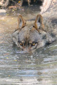 Il paese del lupo