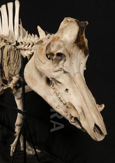 Wild boar head skeleton. (Wild boar head skeleton)