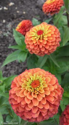 Leave space in your garden for these 11 AAS Winners | Frau Zinnie #aaswinner #flowergarden #zinnia