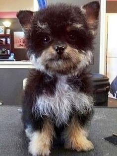 Yorkshire-Terrier - Pudel Mischling