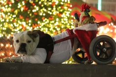 "❤ Luka has the Christmas spirit! Luka was born with Spina Bifida & has no use of her back legs. Carts like this, provide the ability for Luka to live with her disability. How wonderful that Luka has loving ""MOM"" & that this fur baby is having a great time! ❤ Posted on English Bulldog News on Facebook"