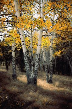Aspen Trees Photograph - Autumn Sigh by The Forests Edge Photography - Diane Sandoval