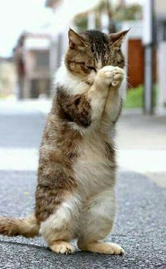 Cats relax us and help people live longer lives by relieving stress. Take a few moments and mediate with cats! cute cat and kittens Funny Animal Pictures, Cute Funny Animals, Cute Baby Animals, Animals And Pets, Funny Cats, Cute Cats And Kittens, Kittens Cutest, Ragdoll Kittens, Tabby Cats