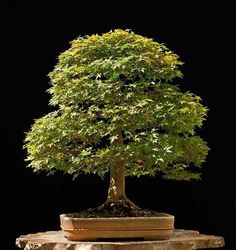 Bonsai Potted Plants, Indoor Plants, Indoor Outdoor, Bonsai Tree Types, Bonsai Trees, Ikebana, Maple Bonsai, Tiny World, Bonsai Garden