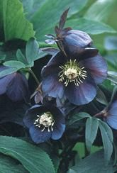 Hellebore Blue Metallic Lady - Plants